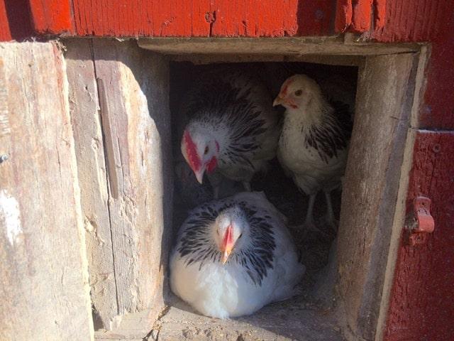 En av hönorna har ockuperat utgången och uppskattar tvärdraget mellan de två luckorna i hönshuset. Förhoppningsvis kommer de att bärga uppskatta utevistelsen i sin nya hönsgård.
