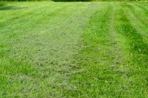 Utan mulcher lägger sig klippet så, en matta över gräsmattan. Då är det bara att ta fram krattan.
