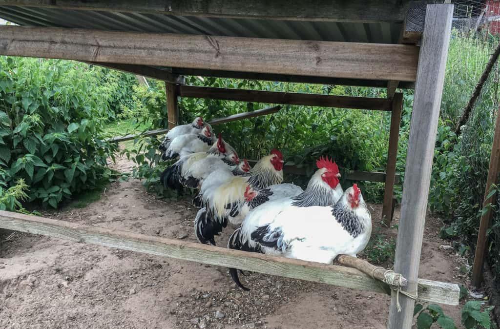 Mina höns går för närvarande fritt på gården. Men de tar gärna en lunchvila i den gamla hönsgården – särskilt när det ä'r regn i luften.