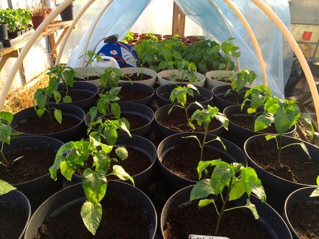 Efter omplanteringen är växthusbordet nästan fyllt. Närmast Espelette och i bakgrunden Habanero.