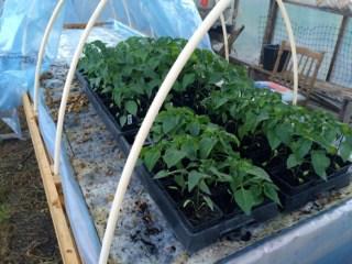 Inna omplanteringe har plantorna stått på tillvänjning ett par dagar i sina små krukor.