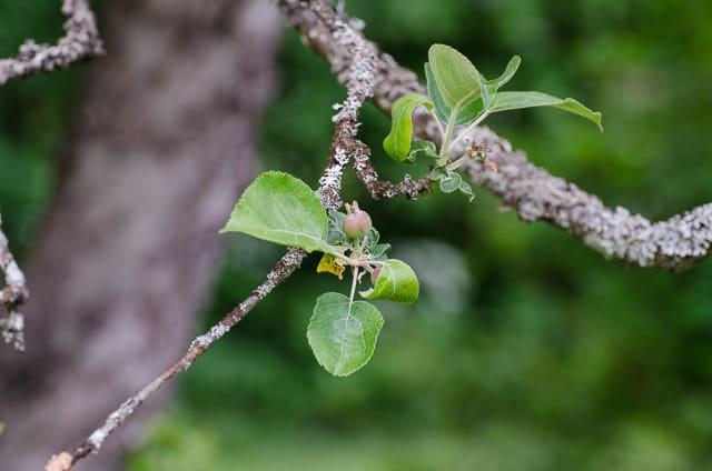 När blomningen är över bildar de befruktade blommorna små äppelkart. Om befruktningen har varit bra kan man behöva kartgallra.
