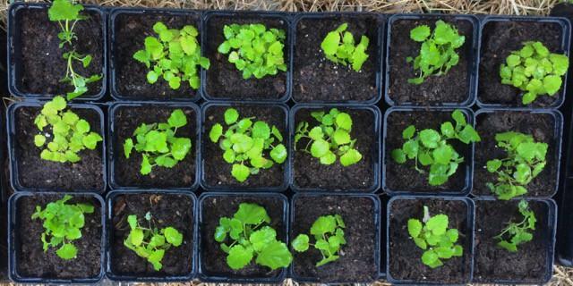 Nu har jag sjuttio små plantor som är på väg ut i fält. Planen är att göra en liten häck av dem i ett bra läge.