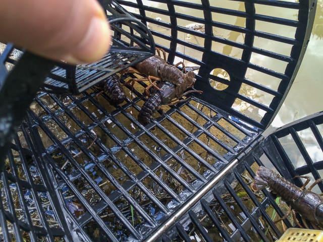 När jag drog upp andra kräftburen i dag fanns där sju kräftor och jag hoppas den fångsten är representativ för resten av dammen. Ett lyckat kräftfiske.