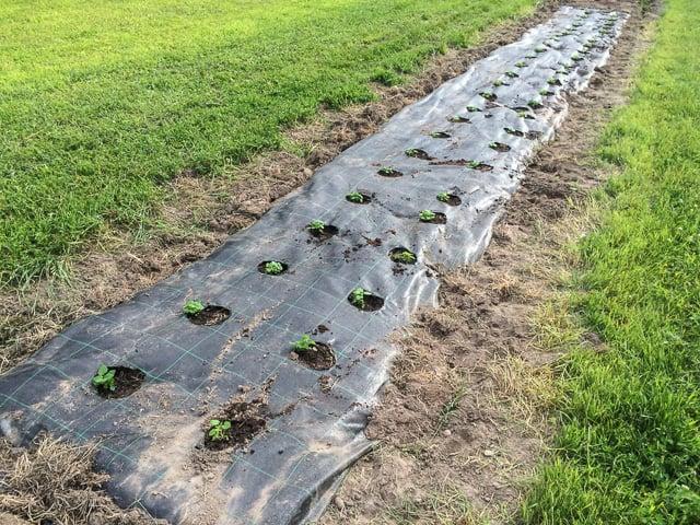 Jag använder Mypecks som markväv när jag gör odlingsbäddar för perenner. Här är det citronmeliss som har fått en egen plats i odlingarna.