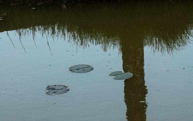 De första näckrosbladen har letat sig upp till ytan, omgivna av myggor och skräddare.