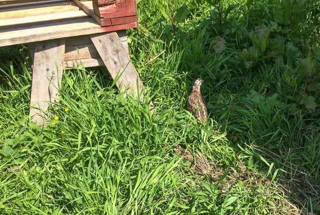 De är inte lätta att se i gräset, och eftersom de inte är rädda av sig får man se var man sätter fötterna.