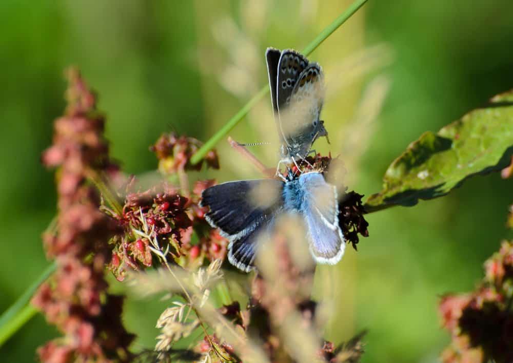 Två blåvingar hälsar på varandra. Den som är bevandrad i artbestämningens konst har här ett tillfälle att se både ovan och undersidan på vingarna.