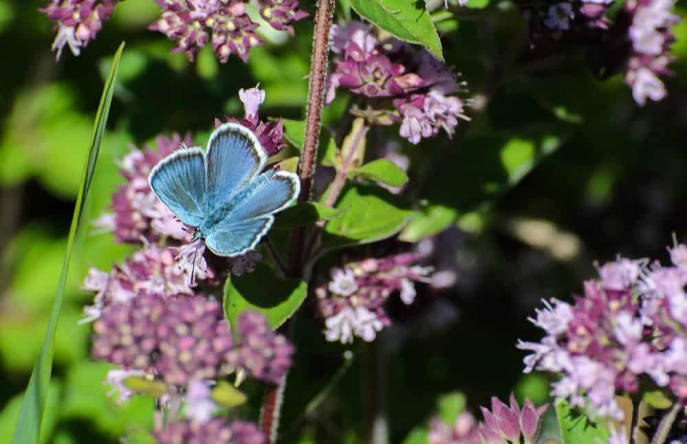 Blåvingarna är i mitt tycke en av de vackraste fjärilarna. Det finns ett tjugotal arter i Sverige.