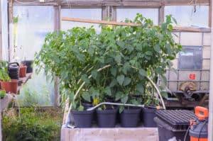 De plantor som vuxit i växthuset är betydligt större och huvuddelen av årets skörd kommer att vara växthusodlad. Men det ska bli spännande att se om det blir någon skillnad i smak.