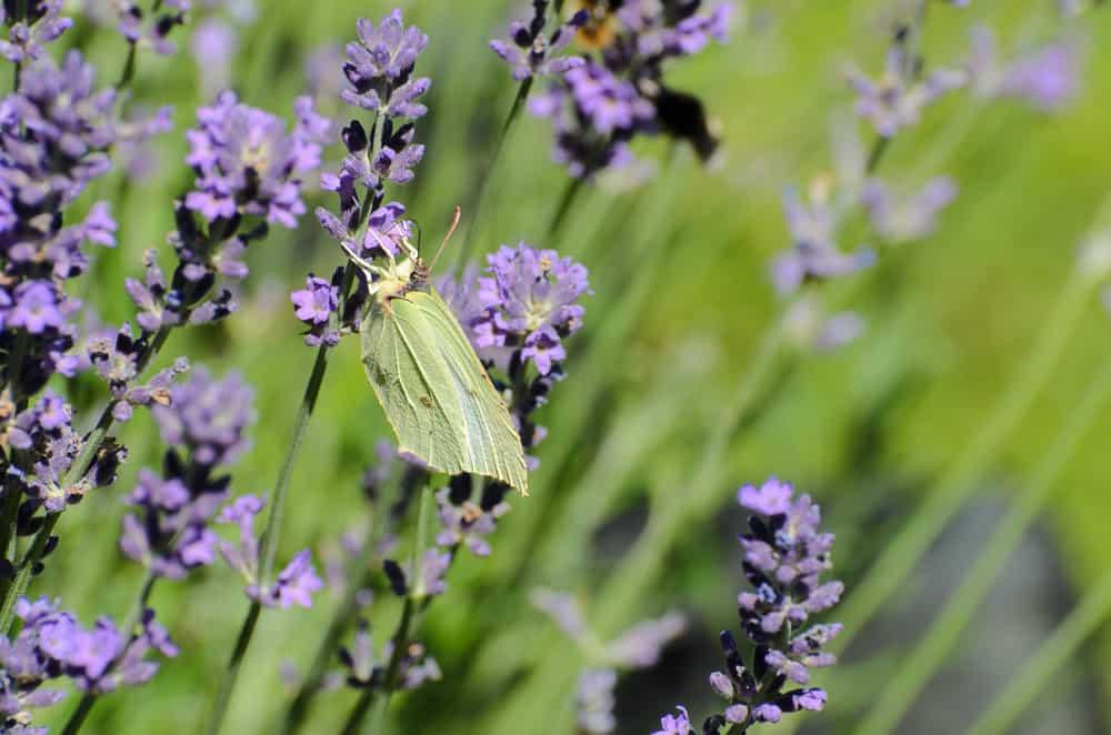Citronfjärilen är en annan vanlig fjäril – tycke för att den flyger under hela sommarhalvåret.