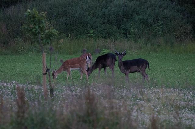 En grupp dovhjortar äter kvällsmat vid 23-tiden. De har måttlig respekt för mig när hunden inte är med.