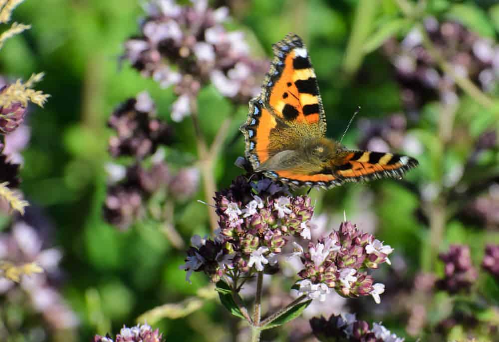 Nässelfjärilen är den vanligaste just nu och rätt ofta kan man se förra årets fjärilar med sorgligt slitna vingar.