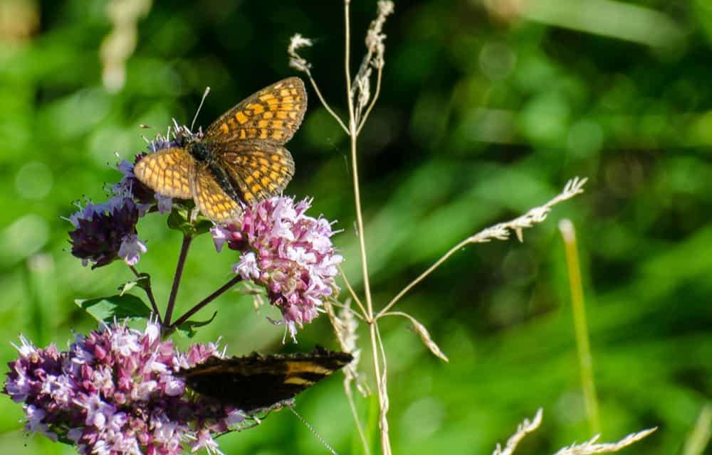 Det finns många arter av pärlemorfjärilar och de flesta ser snarlika ut från ovansidan.