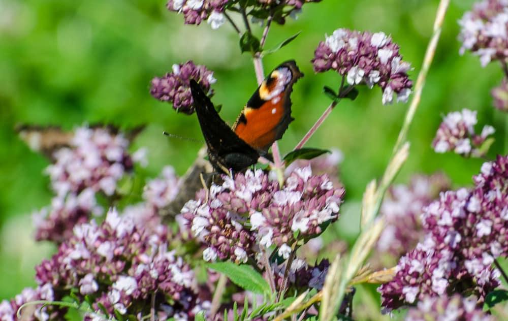 Påfågelögat är en av tre svenska arter som är beroende av nässlor för sin fortplantning.
