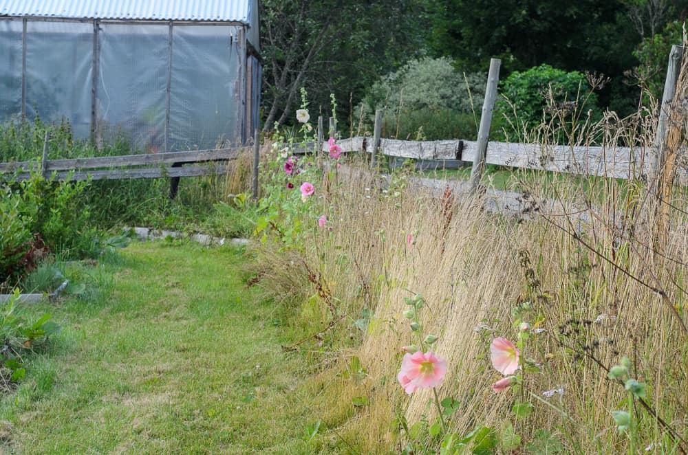 Mina perenna stockrosor visar sig nu i all sin prakt. Och en stockros klarar sig hyfsat även i en trädgård som ger utrymme åt vilda växter.