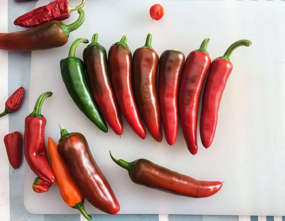 Jag skördar chili när den precis börjar skifta färg. Sen ligger de bara svalt och mörkt. Efter några drar har mer en 90 procent fått sin mogna färg och smak. Nere till vänster i bild kan du sen en Hungarian carrot – en ny sort som jag testar i år.