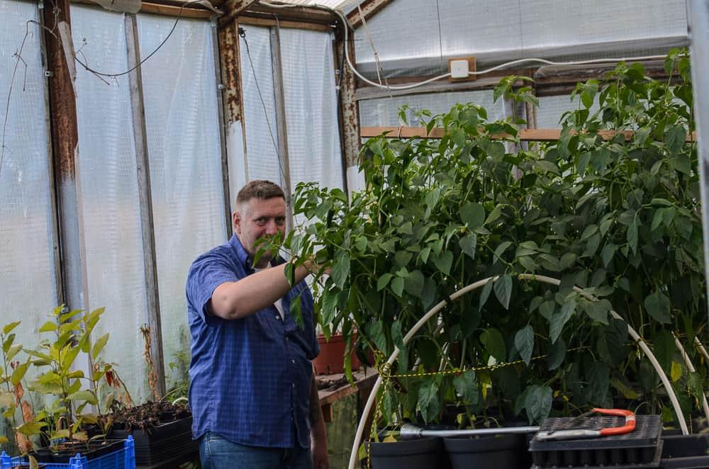 Det är bra att skörda chili regelbundet. De första gröna frukterna kan användas direkt. Och när plantörne börjar hänga av tyngden från frukterna måste de bindas upp – och skördas så att de fortsätter sätta frukt.