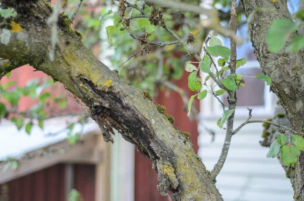 Ett svårt angrepp av fruktträdskräfta. Sporerna tar sig in när det uppstår sårskador på träden och sprider sig i trädet med vattendroppar.