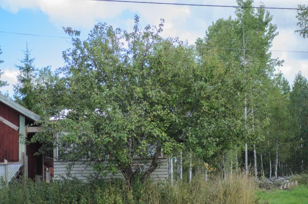 Ett gammalt Oranie-träd som lämnats åt sitt öde utan beskärning. Korsande grenar har skavt och bildat sår som angripits. Många döda grenar och en fest för fruktträdskräfta. Från det här trädet kan sporerna spridas till andra träd med insekter.