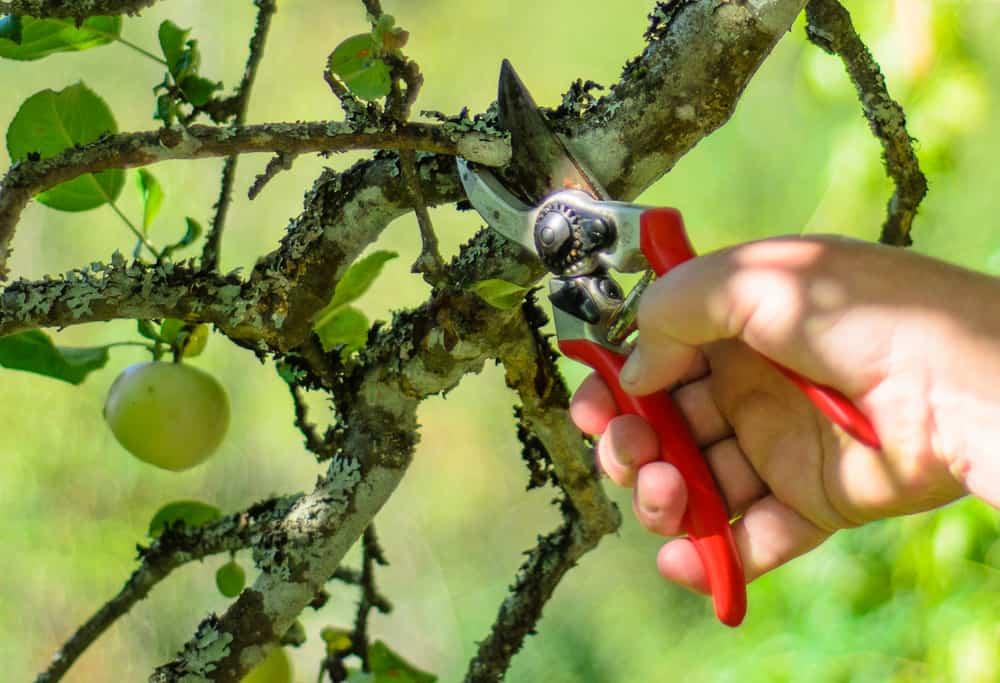 Beskärning av fruktträd är viktig både för fruktsättning och för att hindra sjukdomar. Tvätta gärna redskapen när du beskär för att inte sprida fruktträdskräfta – men ännu viktigare är att beskära i torr väderlek.