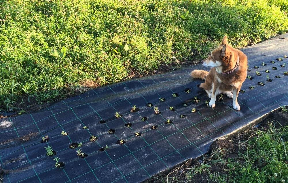 Jag har tur som har en väldresserad hund. Pumah visar alltid respekt för mina ömtåliga plantor – som dessa små lavendel pluggar.