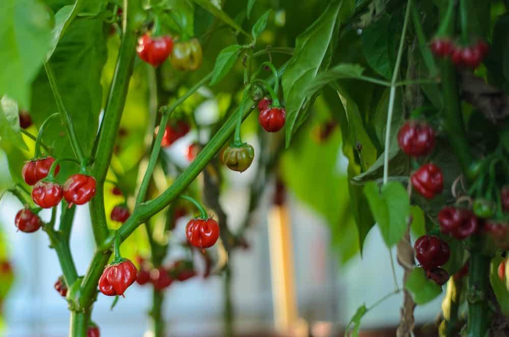 Ett överflöd av frukter – men tyvärr är alla förkrympta så det blir ingen stor skörd. Ska testa att så en månad tidigare nästa år.