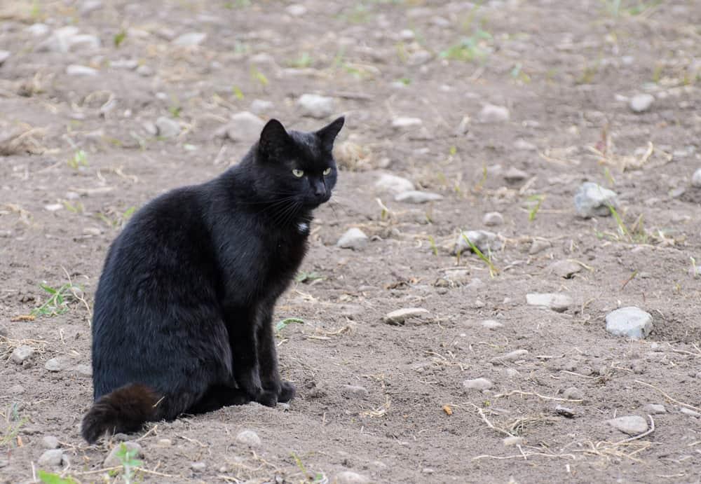 Begagnad katt - båda katterna är svarta men Marlon har en liten vit fläck på bröstet. Jag känner lättast igen dem på hur de beter sig. Marlon och von Dallas är två väldigt olika personligheter.