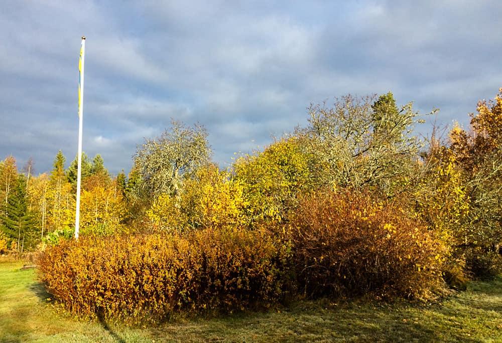 Det gamla päronträdet i bakgrunden var ett av de första träden som släppte löven. Under är marken täckt av svärtande löv men eftersom jag är motståndare till krattning kommer de att få ligga – men köras över av gräsklipparen en sista gång så fort det blir en någorlunda torr dag.