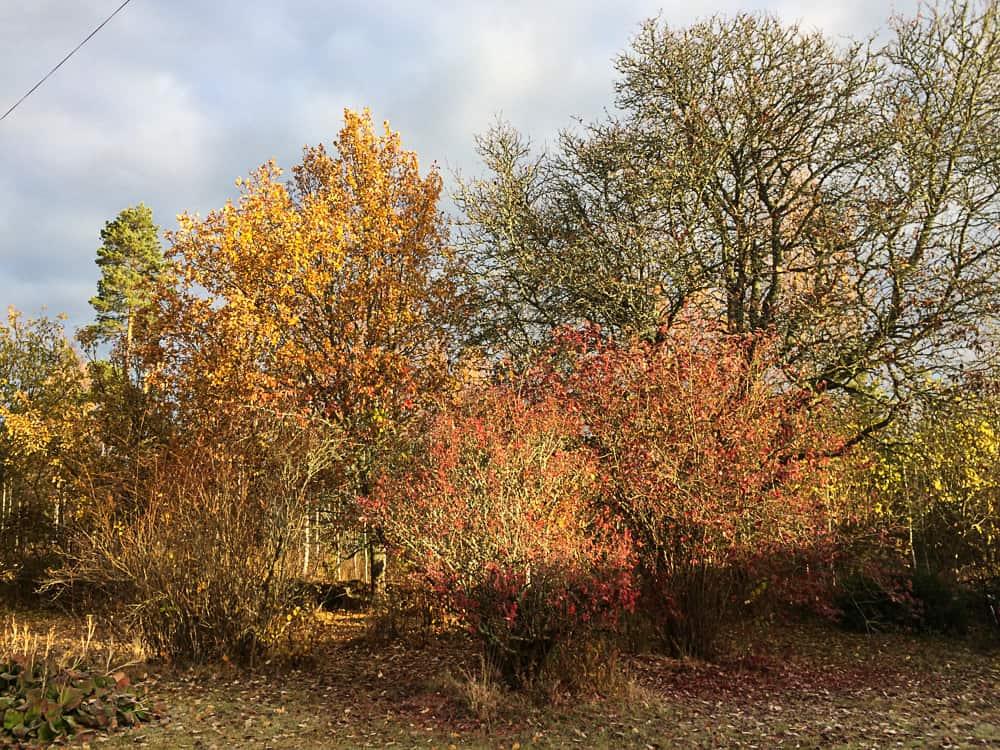 Svart, rött och guld är höstens färger. Ett litet fönster av upprymdhet innan världen går över till gråskala.