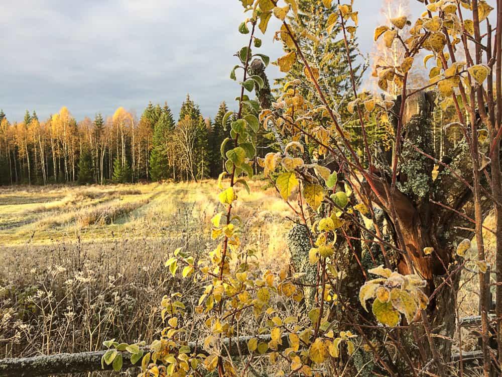 När solen värmde de frosttäckta växterna började det regna gula löv över marken.