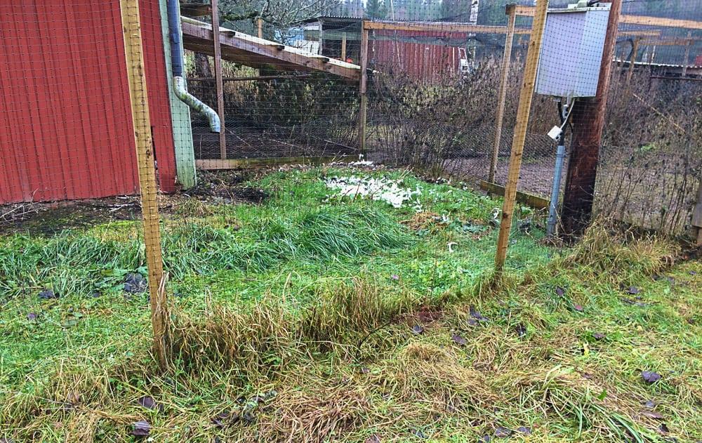 När jag skymtar ett vitt fält i hönsgården så vet jag vad klockan är slagen. Jag som bara tänkte bjuda dem på lite friskt gräs några timmar.