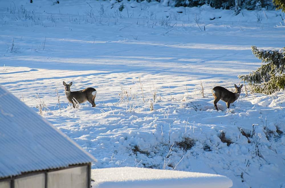 Året runt har jag besök av hjortar och rådjur i trädgården. Så länge de betar gräs och klöver är det ok – men vintertid lägger de om dieten och ger sig på buskar och träd. Inte lika roligt.