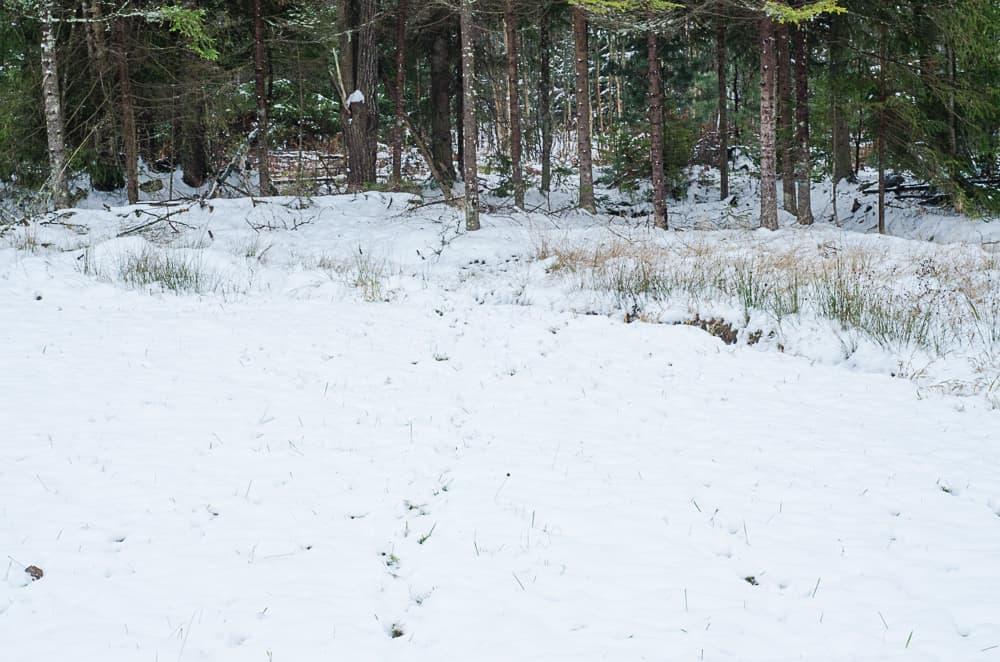 Här är det inget stängsel och slät mark rakt in i trädgården från skogen. och man ser tydligt att detta är en av deras favoritvägar.