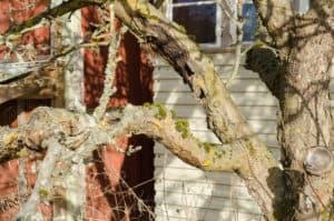 Oraineträdet var svårt angripet av fruktträdskräfta. Inte bara ute på grenarna utan även nära själva stammen.