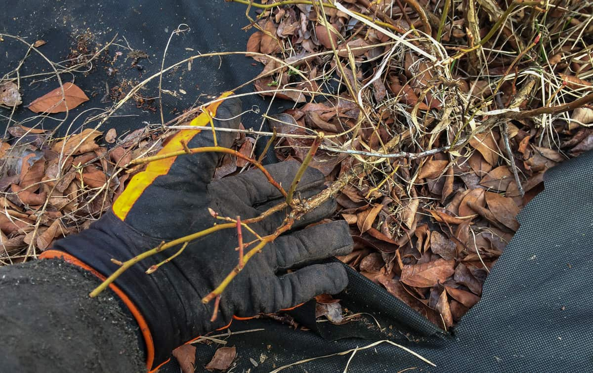 Jag tar alltid bort grenar som kryper längs marken. De ger sällan full skörd och de bär som kommer riskerar att mögla. Bättre att styra växtkraften uppåt i busken.
