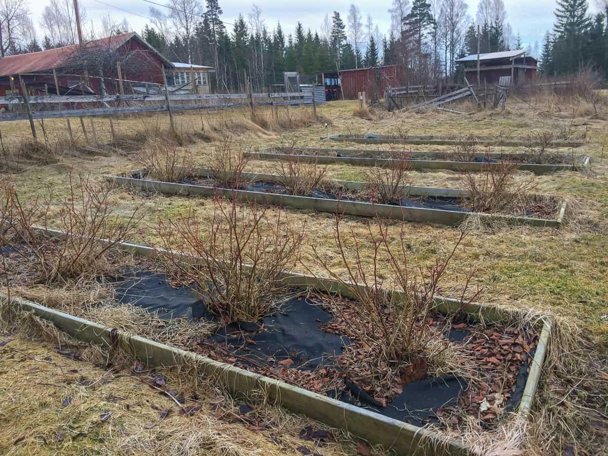 En fyraårig blåbärsodling. Ännu är buskarna inte uppe i full kapacitet men det är viktigt att beskära blåbär – särskilt att ta bort döda och frostskadade grenar.