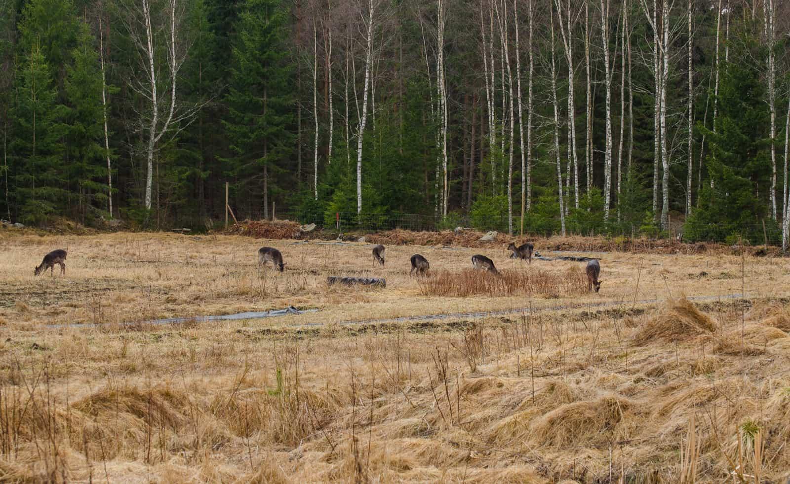 Det är den här synen jag helst vill slippa i framtiden. Att hjortarna går och betar gräs går an – men när de ger sig på träd och buskar får jag nog.