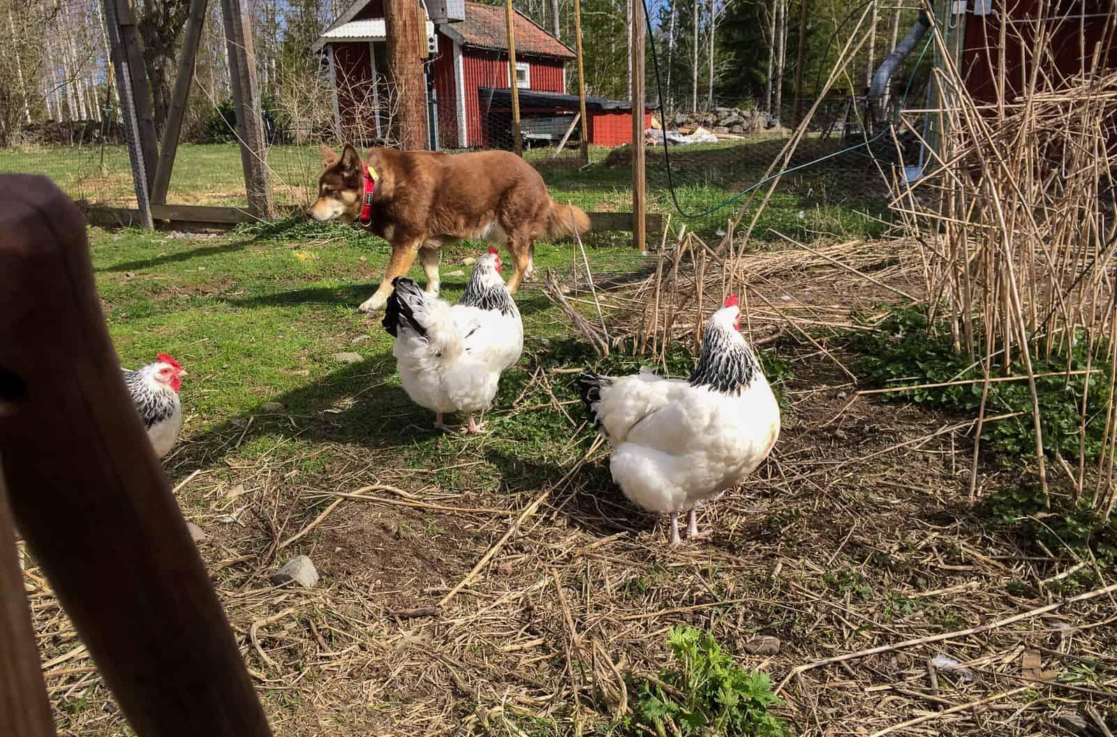 När hönsen vuxit upp är de oberörda av att ha hunden inne i hönsgården. Och Pumah är inte heller särskilt intresserad.
