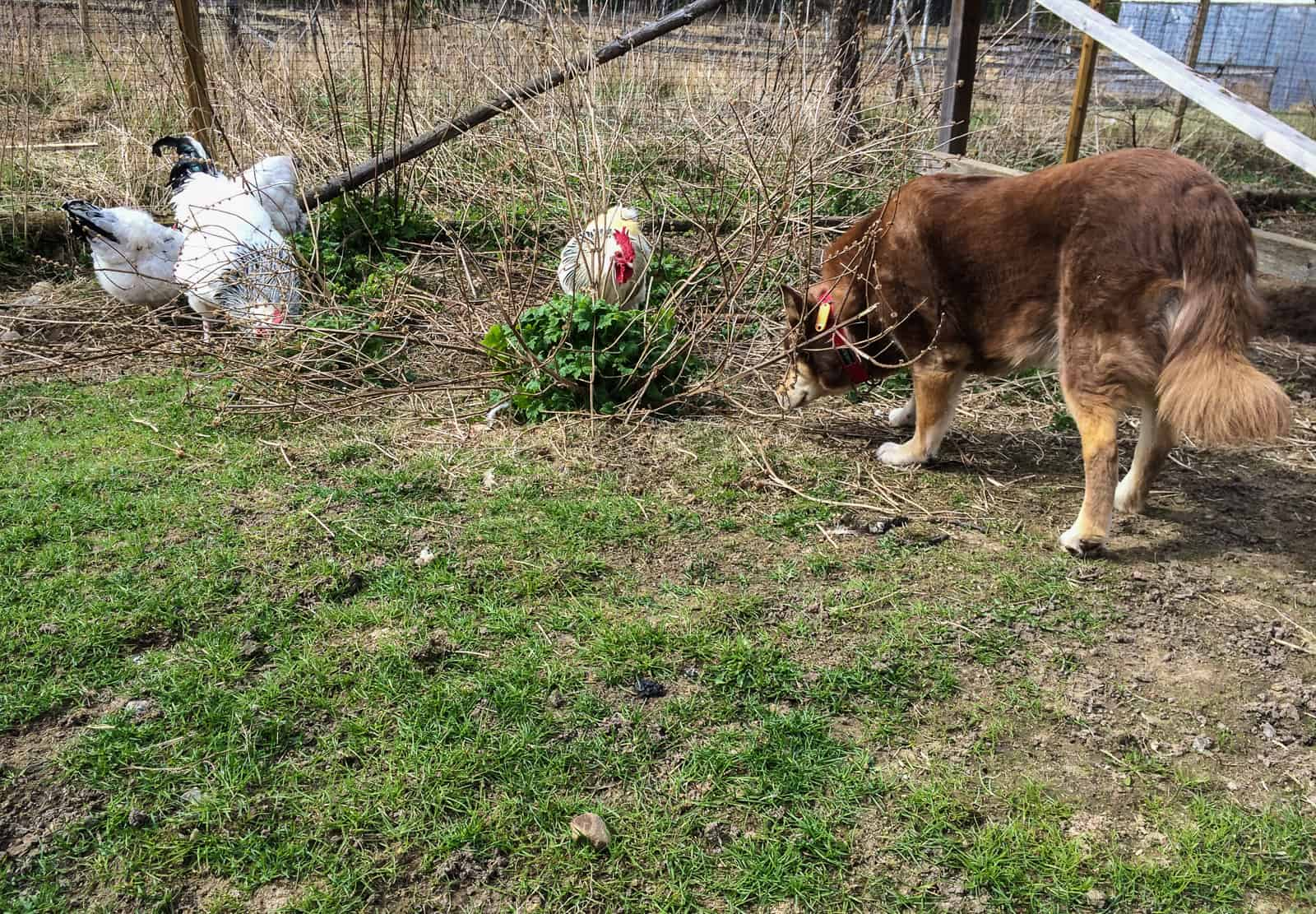 Både hund och höns har samma intresse – vårens första grässtrån är en delikatess för alla.