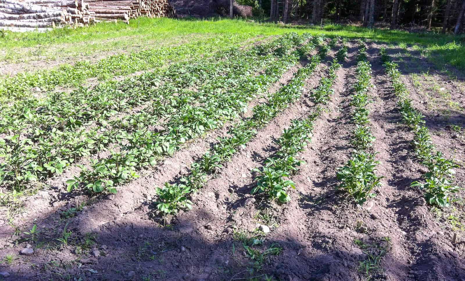 Potatis och andra rotfrukter går att lagra och det behövs inga stora ytor för att bli självförsörjande.