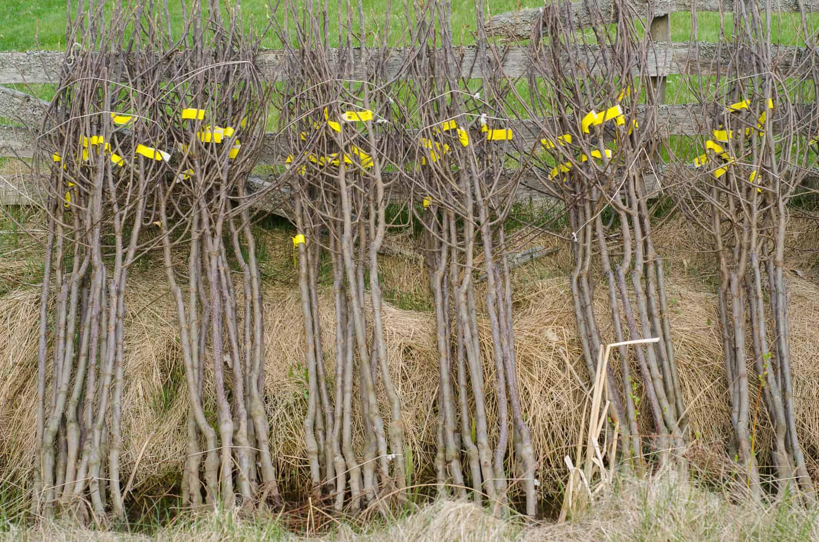 Plantskolan Verbeek i Holland har levererat riktigt fina träd. Bra storlek och mycket fins grenade. Nu ska de först få suga vatten ett dygn innan jag lagrar dem mörkt några dagar i väntan på plantering.