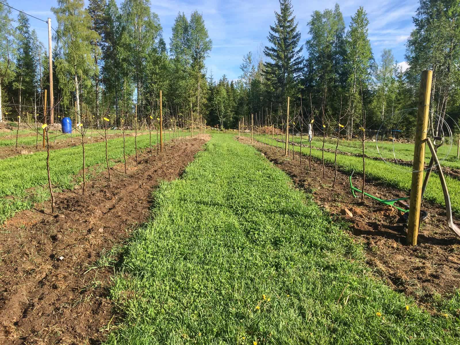 Raderna är uppdragna i en väl etablerad gräsmatta med gräs och vitklöver. Ska skaffa en kantskärare för att hålla raderna snygga.