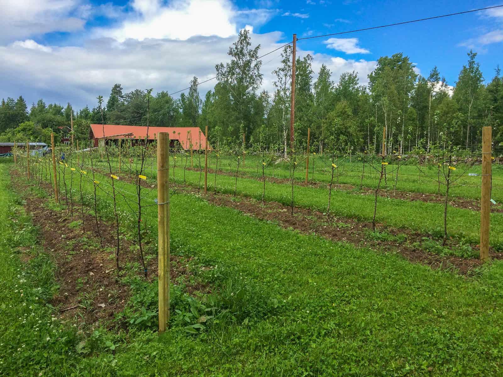 För snart en månad sedan planterade jag min äppelodling. Närmare 200 barrotade träd. Och nu - i slutet på juni – har praktiskt taget alla slagit ut och drygt hälften blommar fortfarande.