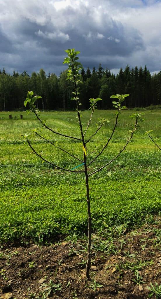 Det här äppelträdet har flera grenar som ska tas bort. Men genom att vänta med beskärningen till nästa år får det mer energi för att bilda nya rötter.