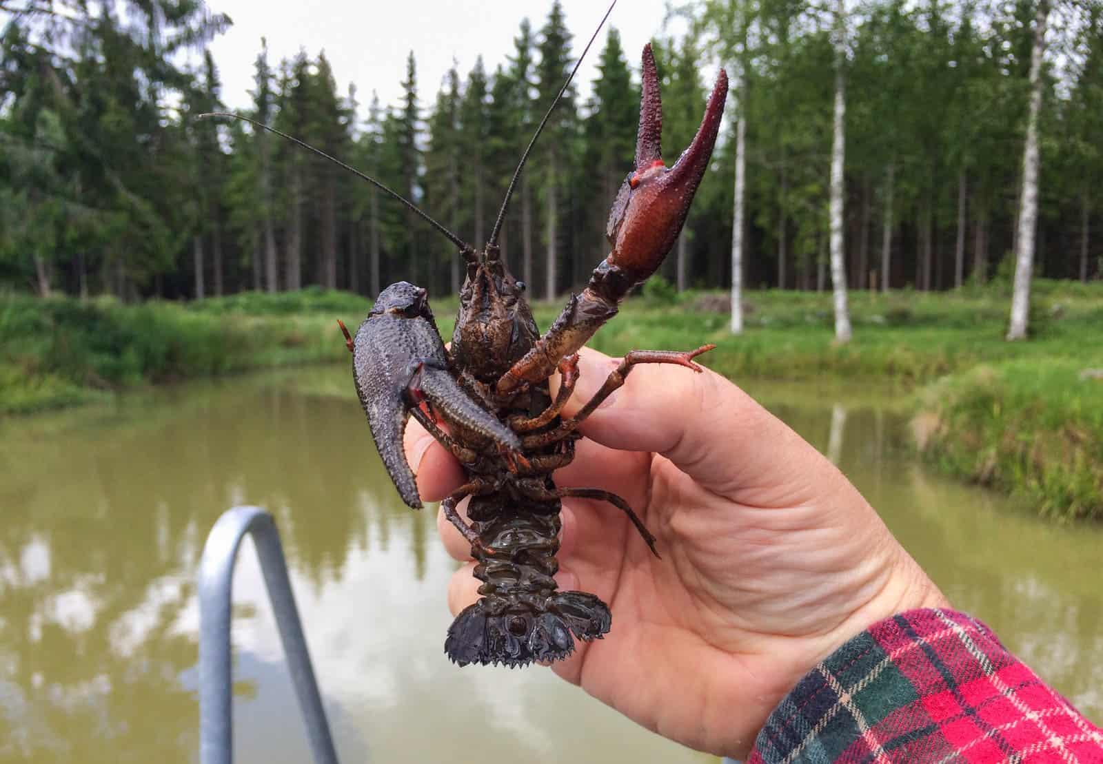 WWF ger åter rött ljus till flodkräftan och vill att vi ska låta bli att köpa den. Lyckligtvis är de ensamma om att se fisket som ett hit mot vår svenska kräfta.