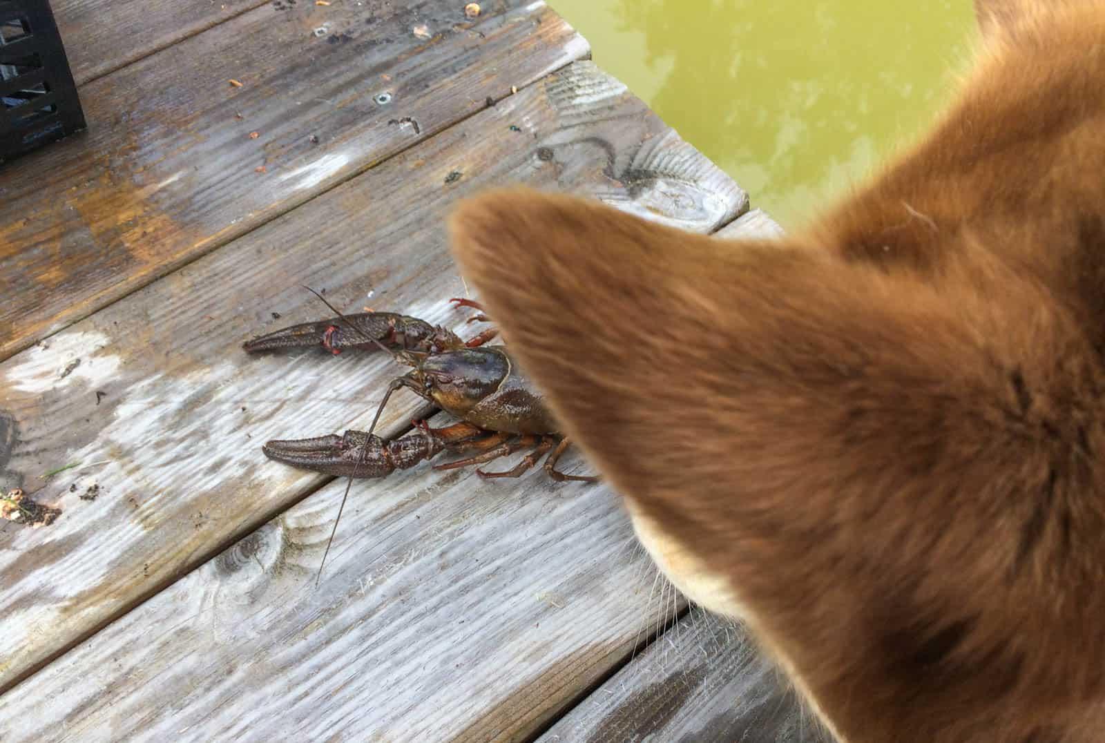 Är man en tillräckligt stor flodkräfta behöver man inte vara hundrädd. Lyckligtvis visar Pumah inte samma intresse för kräftor som för vaktlar.