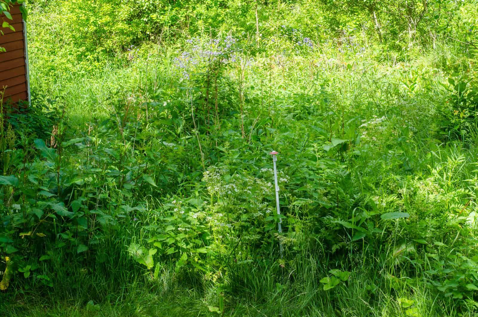 För några år sedan gjorde jag i ordning en liten köksträdgård här. Rensade, planterade ärter och gjorde en liten gång av sten. Nu är det en Darwinistisk del av trädgården där bara den mest anpassningsbara överlever.
