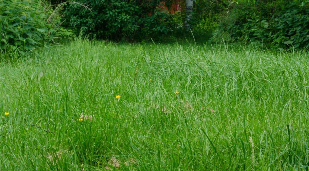 Gräset ska klippas regelbundet för att hållas fint. Men så här års ligger jag ständigt efter med någon del av trädgården.
