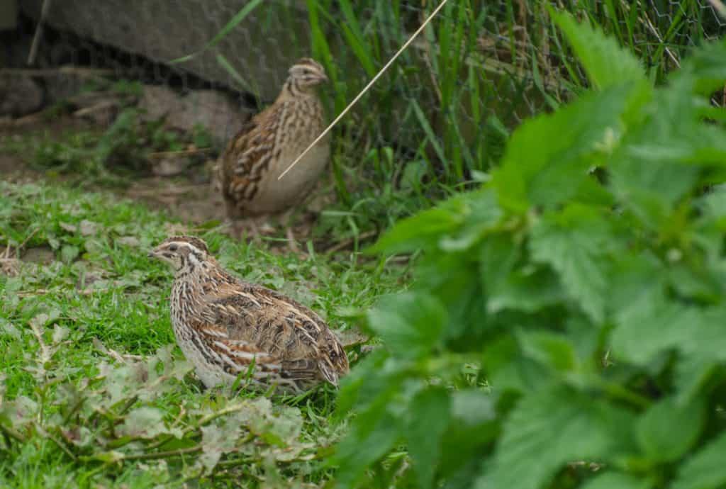 Förra årets vaktlar flyttade ut i voljären för drygt en månad sedan. Nackdelen med att ha dem på sommarnöje är att de blir skyggare när de lever mer som i det vilda.